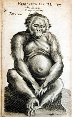 Tekening van een orang-oetan uit 1641